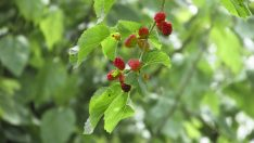 DELICIOUS BERRIES WILL SOON!